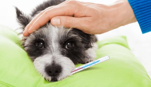 犬の体温はどうやって測るの?正しい測り方やおすすめの体温計3選を紹介