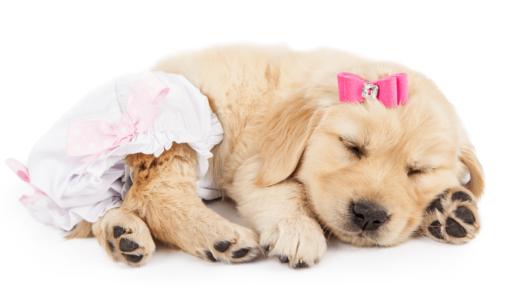 犬用オムツのおすすめ種類別12選!手作りもできるって本当?