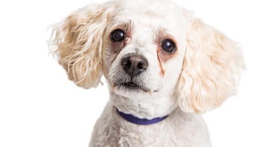 犬が涙やけしたときの症状は?4つの対策方法を把握して快適な日々を過ごそう!