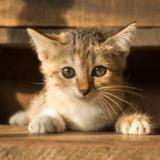 猫の値段は種類によって変わる!人気の高い猫の値段ランキング