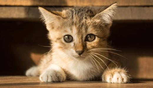 猫の値段はそれぞれ違う!編集部が調べた人気のある種類別で見るランキングベスト15