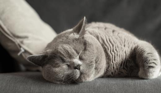 おとなしい猫の種類ランキング5!穏やかな子の見分け方・育てるにはどうすればいい?
