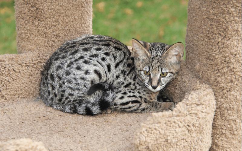 サバンナ 猫