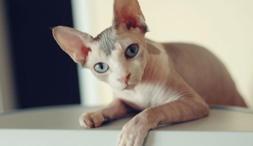 スフィンクスを気持ち悪い猫なんて言わせない!その魅力や編集部おすすめのブログをご紹介