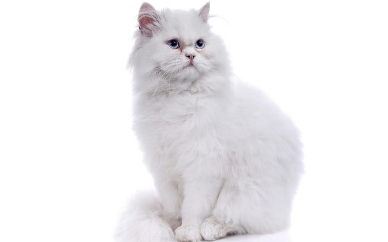 ペルシャ 猫