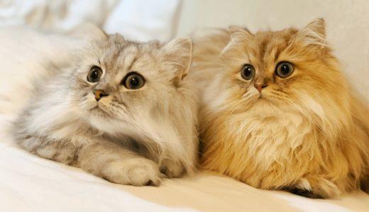 かわいいと人気の品種チンチラ猫!毛並みの魅力やペルシャとの違いを大公開!