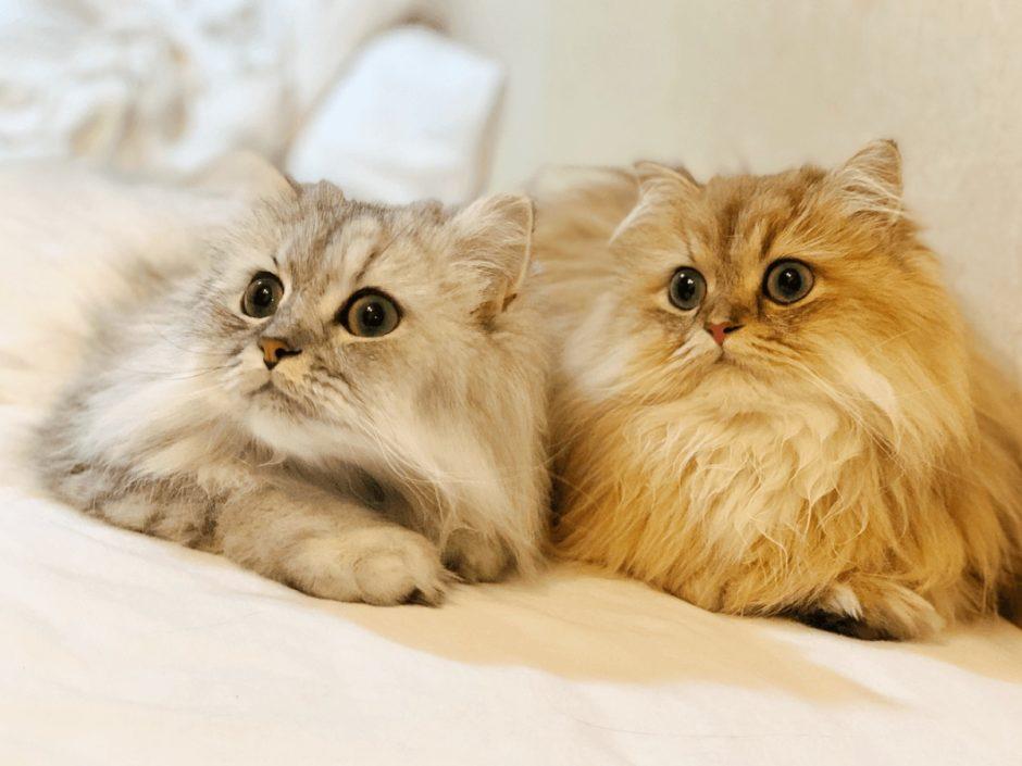 チンチラ 猫