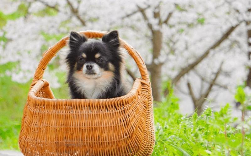 チワワってどんな犬?性格から分かる3つの特徴