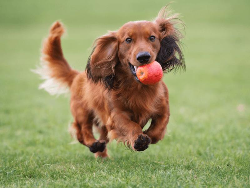 犬 ドライフルーツ
