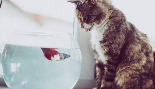 猫は金魚を食べるって本当なの?一緒に同居させるときの注意点6つと対策法