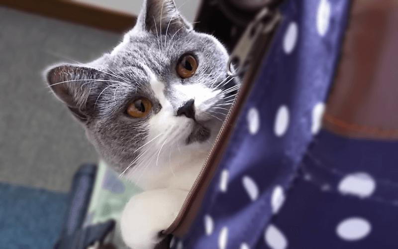 猫 キャリー