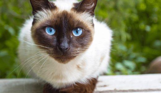 シャムってどんな性格の猫?性別で異なるその特徴とミックスについて