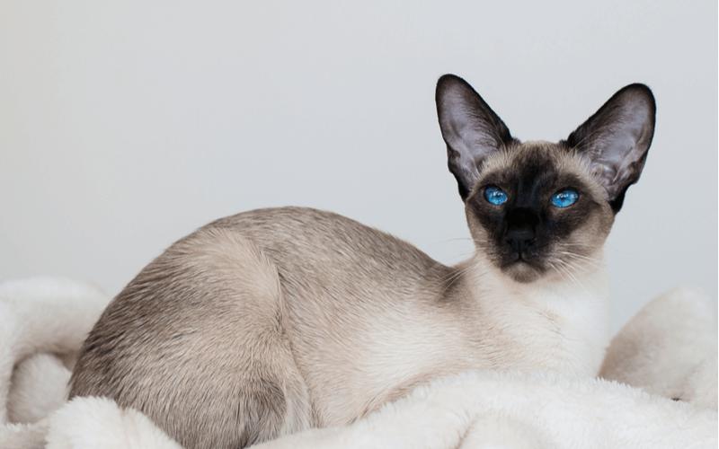 オリエンタル 猫