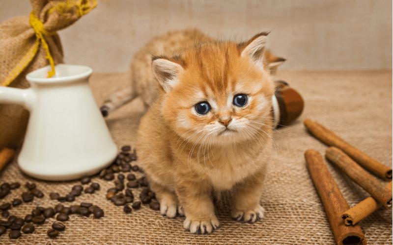 猫 アロマ