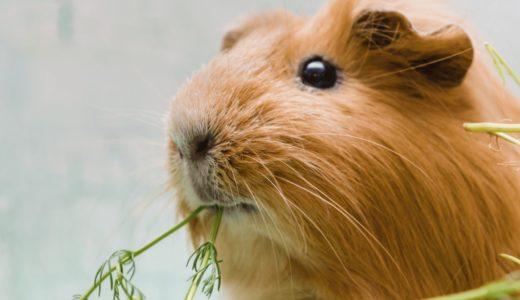 モルモットの飼い方を徹底解説!初心者をサポートする飼育本や動画も紹介