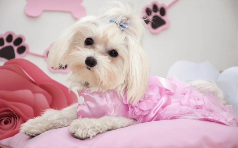 犬 ドレス