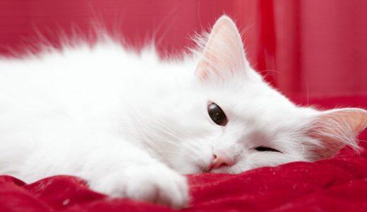 猫にも生理がある?メスを飼うなら知っておきたい発情期事情