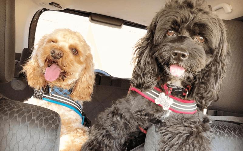 犬が車酔いしない方法はある安心してお出かけするための対策や克服法