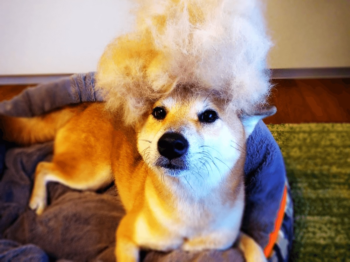 柴犬の換毛期はいつの時期から始まる?ブラッシング時のかゆみ対策やシャンプーの仕方