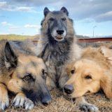 飼いやすい犬種はこれ!大型犬の特徴とおすすめしたい犬種20選!