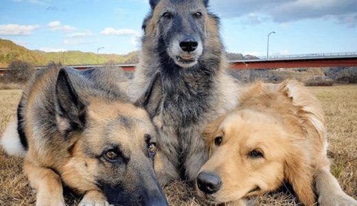 大型犬の特徴と種類!おすすめしたい飼いやすい犬種18選