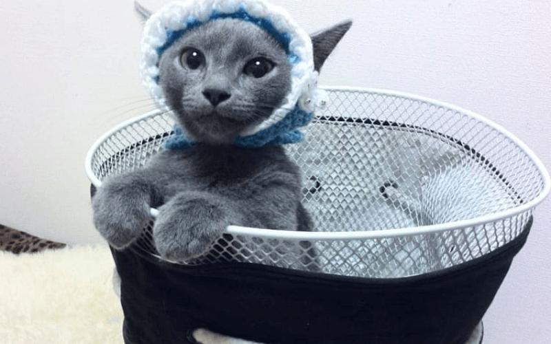 ロシアンブルー 人気の猫種