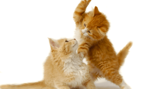 猫の喧嘩はどうして起こるの?本気の喧嘩とじゃれ合いの見分け方を知っておこう
