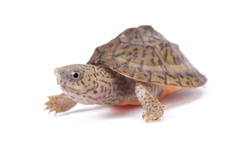 Mississippi Musk Turtle