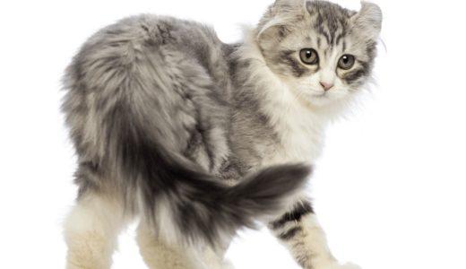 アメリカンカールはどんな性格?猫界のピーターパンと呼ばれる人気の猫種について